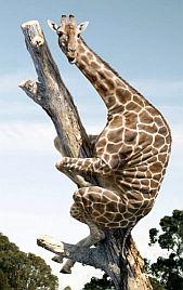 Bange Giraf in Boom