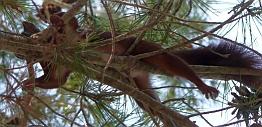 Eekhoorn luierend in de boom